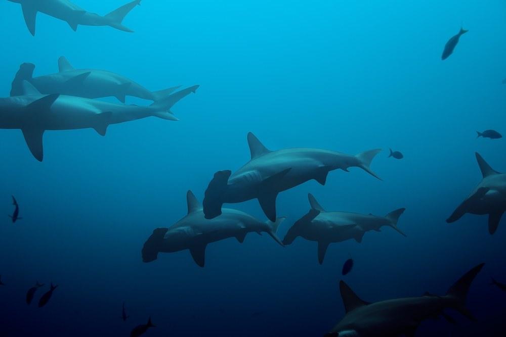 Large school of hammerhead sharks in the blue
